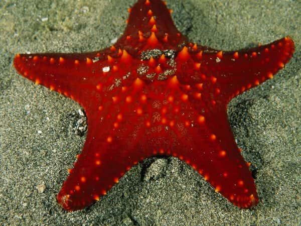Echinodermata (Equinodermos)