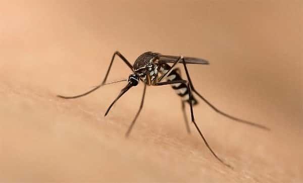 Qual é a diferença entre a febre chikungunya e a dengue?