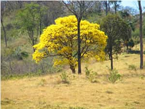 A Flora do Cerrado