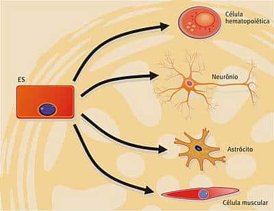 Entenda o que são as Células-tronco