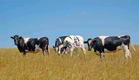 O mal da vaca louca