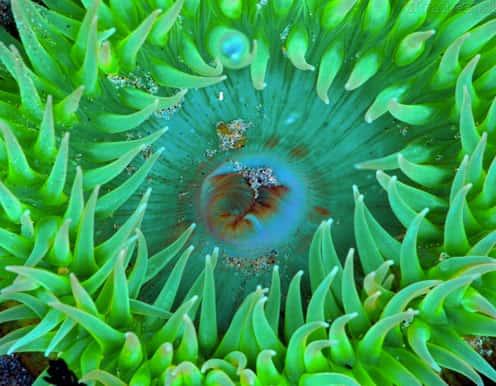 Anêmona-do-Mar ou Actínia