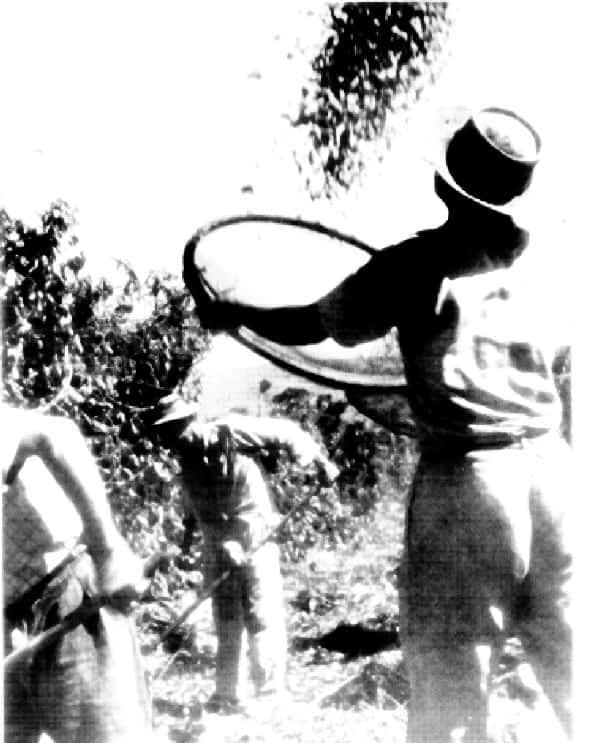Foto antiga, Plantação de Café, Agricultura