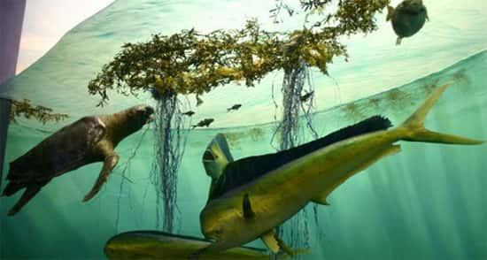 alga sargasso