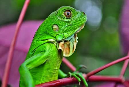 Iguana, Réptil