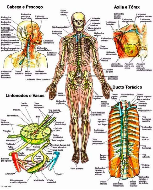 Sistema Linfático, Anatomia do Corpo Humano