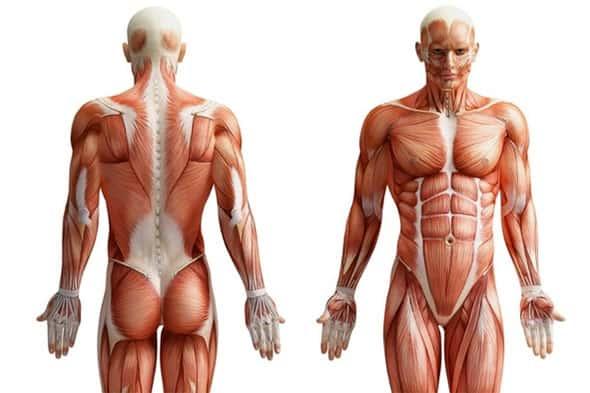 Tecido muscular, Fibras musculares