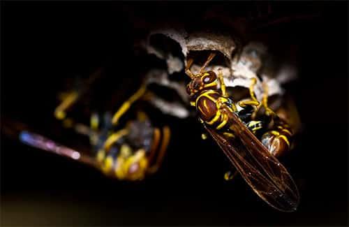 colônia de vespa