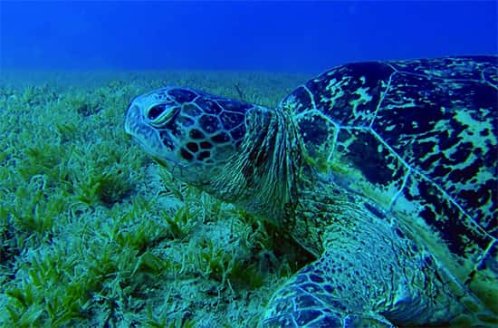 Tartaruga Marinha no Leito do Oceano