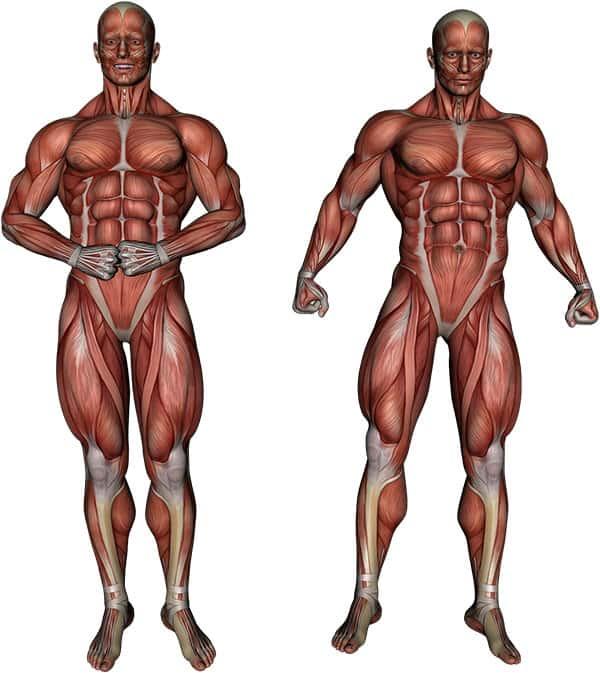 Sistema Muscular Humano, Músculos