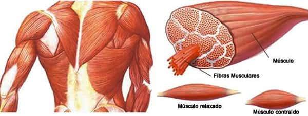 Anatomia dos Músculos Humanos, Fibras