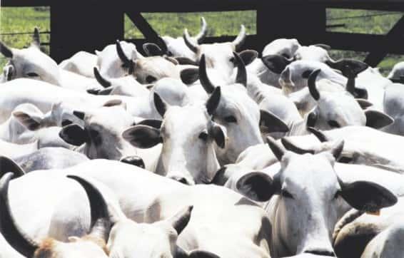 Pecuária no Brasil